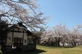 志乎・桜の里 古墳公園の桜 画像(3/5)