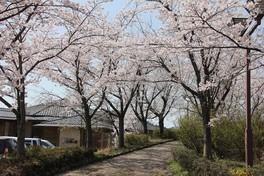 志乎・桜の里 古墳公園の桜 画像(4/5)