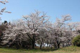 志乎・桜の里 古墳公園の桜 画像(5/5)
