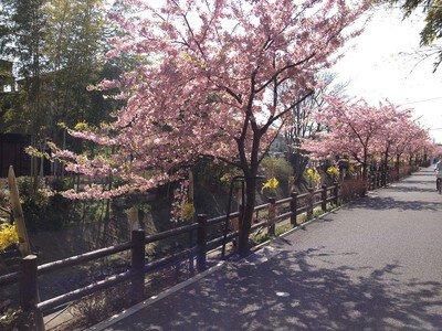 戸定邸の桜