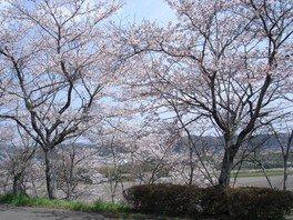宇留野公園の桜 画像(2/4)
