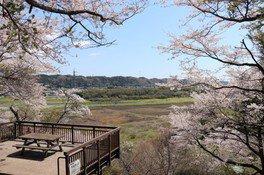 宇留野公園の桜 画像(3/4)