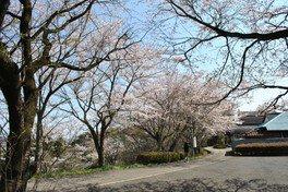 宇留野公園の桜 画像(4/4)