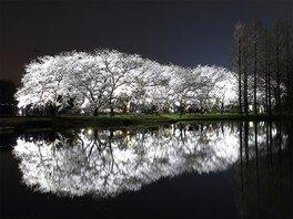 富山県中央植物園の桜 画像(3/4)