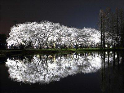 富山県中央植物園の桜