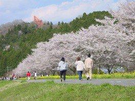 辰ノ口親水公園の桜 画像(2/2)