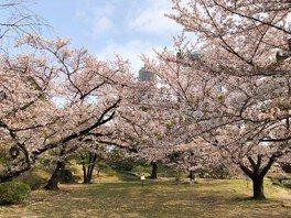 旧芝離宮恩賜庭園の桜 画像(2/2)