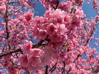 JR北郷駅の桜
