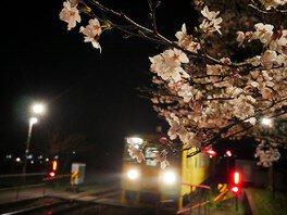 由布院・大分川沿いの桜並木 画像(3/3)