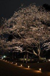 志波彦神社 鹽竈神社の桜 画像(2/2)