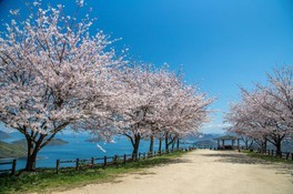 紫雲出山の桜 画像(2/5)