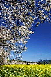 西都原古墳群の桜 画像(3/3)