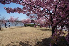 佐鳴湖公園の桜 画像(2/4)