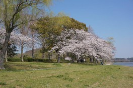 佐鳴湖公園の桜 画像(3/4)