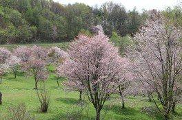 奈井江町にわ山森林自然公園の桜 画像(2/3)