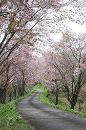 奈井江町にわ山森林自然公園の桜 画像(3/3)