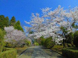 恩賜箱根公園の桜 画像(2/5)