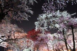 京都府立植物園の桜 画像(2/4)