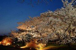 京都府立植物園の桜 画像(4/4)
