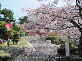 かみね公園の桜 画像(2/4)