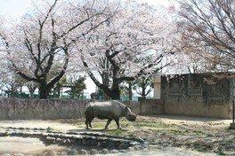 かみね公園の桜 画像(3/4)