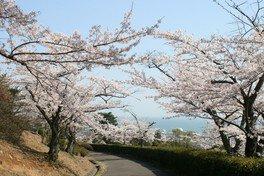 かみね公園の桜 画像(4/4)
