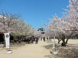 松山城(城山公園)の桜 画像(2/2)