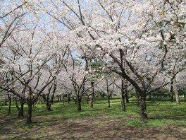 浜寺公園の桜 画像(2/5)