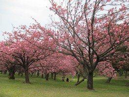 浜寺公園の桜 画像(3/5)