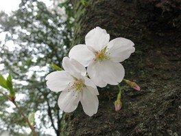 浜寺公園の桜 画像(4/5)