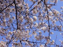 浜寺公園の桜 画像(5/5)