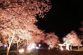 優駿さくらロード(西舎桜並木)の桜 画像(2/4)