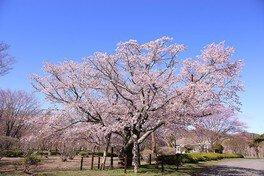 優駿さくらロード(西舎桜並木)の桜 画像(3/4)