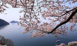 海津大崎の桜 画像(3/4)