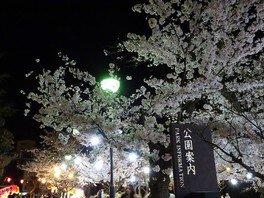 道後公園の桜 画像(5/5)