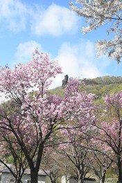 洞爺湖畔の桜 画像(2/2)