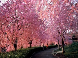常陸風土記の丘の桜 画像(2/2)