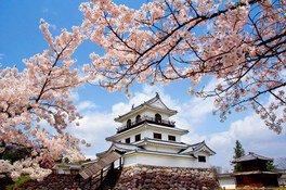 白石城本丸広場の桜 画像(2/2)