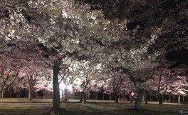 白石城本丸広場の桜 画像(3/5)