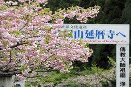 奥比叡・延暦寺境内の桜 画像(2/2)