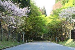 奥比叡・延暦寺境内の桜 画像(3/5)