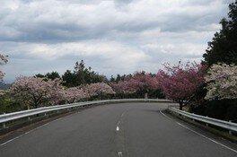 奥比叡・延暦寺境内の桜 画像(4/5)
