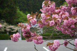 奥比叡・延暦寺境内の桜 画像(5/5)