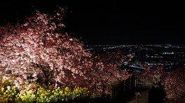 ライトアップされた河津桜と夜景 松田山ハーブガーデンの桜 画像(2/5)