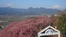 ハーブ館3Fレストランからの富士山 松田山ハーブガーデンの桜 画像(5/5)