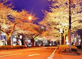 平和通りの桜 画像(2/3)