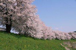 白石川堤一目千本桜 画像(2/4)