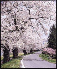 白石川堤一目千本桜 画像(3/3)