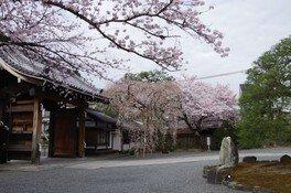 聖護院の桜 画像(2/3)