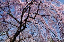 聖護院の桜 画像(3/3)